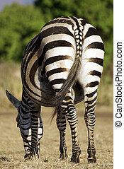 sauvage, alimentation, commun, zebra
