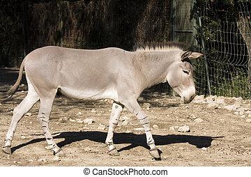 sauvage, ane, africaine, (equus, africanus)
