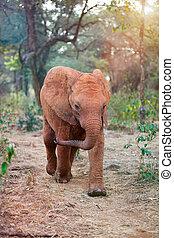 sauvage, bébé, afrique, éléphant