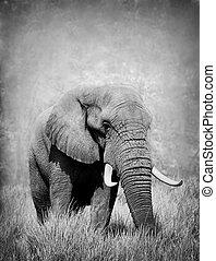 sauvage, blanc, éléphant, noir, africaine
