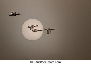 sauvage, brumeux, voler, coucher soleil, canards