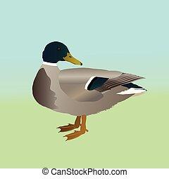 sauvage, canard, mâle