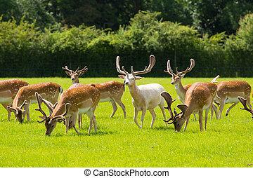 sauvage, cerf, troupeau