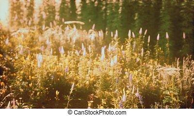 sauvage, champ coucher soleil, été, fleurs