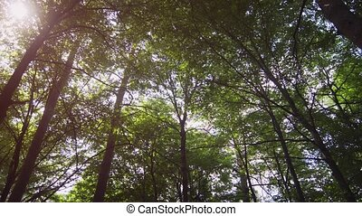 sauvage, coup, arbres, panoramique, vertical, couronnes, grand, forest.