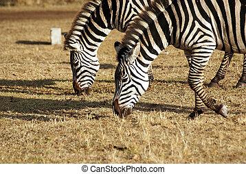 sauvage, couple, zebra, pâturage