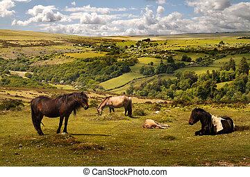 sauvage, exmoor, poneys