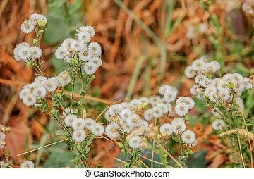sauvage, fleurs blanches