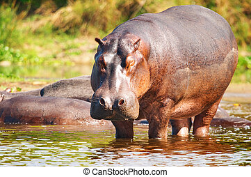 sauvage, hippopotame