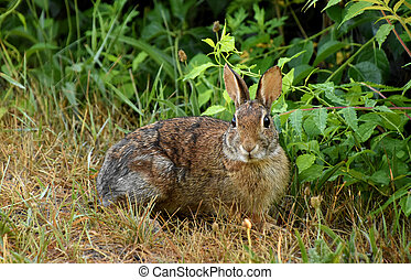 sauvage, lapin, curieux, bosquet, lapin