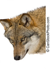 sauvage, loup, dans, a, forrest