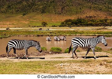 sauvage, national, park., zèbres, africaine