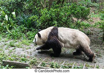 sauvage, panda, géant, chengdu, zoo