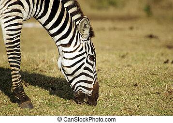 sauvage, portrait, zebra, pâturage, commun