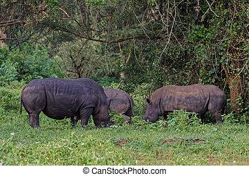 sauvage, rhinocéros blanc