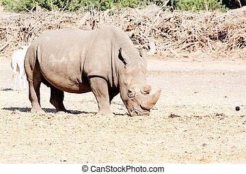 sauvage, rhinocéros