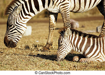 sauvage, zebra, pâturage, commun