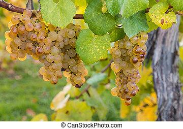sauvignon blanc grapes in autumn - closeup of sauvignon...