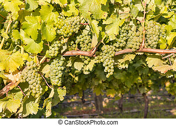 Sauvignon Blanc grapes ripening on vine in vineyard with...