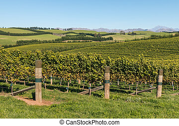 Sauvignon Blanc grapevine vineyards in Marlborough region,...