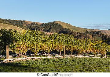 vineyard after harvest - Sauvignon Blanc vineyard after...