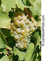 Sauvignon Blanc White Wine Grapes on the Vine