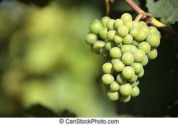 Sauvignon blanc white wine grapes vineyard bordeaux france...