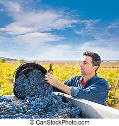 sauvignon, cabernet, mediterráneo, viña, granjero, cosecha