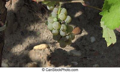 Sauvignon grape at perfect ripeness - the grapes are ready...
