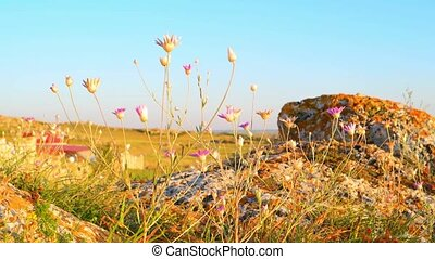 Savage scenery on rocky seashore. Steppe plants tremble on...