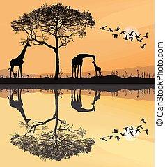 Savana with giraffes