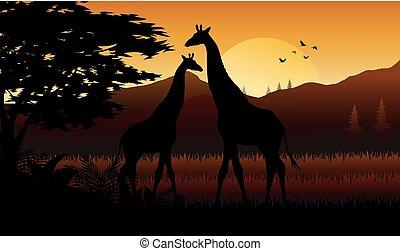 savanah, coucher soleil, girafe, silhouette
