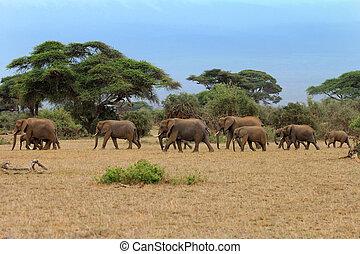 savane, été, éléphants