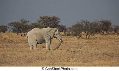 savane, alimentation, éléphant