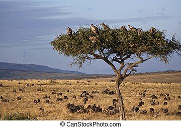 savane, kenya, paysage