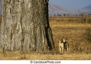 savane, lions, jeune