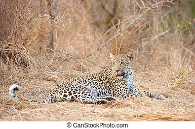 savane, reposer, léopard