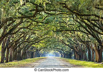 savane, usa, géorgie, chêne, plantation., arbre, historique, wormsloe, revêtu, route