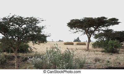 Landscape of savanna in africa during dry season