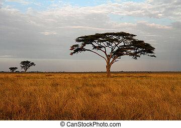 savannah, akacja, drzewa, afrykanin