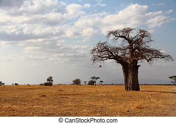 savannah, baobab, samotny, afrykanin