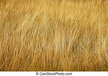 Savannah - Close up shot of yellow savannah grass