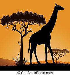 Savannah - giraffe.