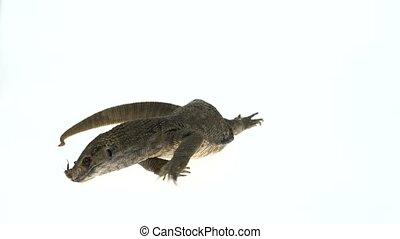 Savannah Monitor Lizard eats cockroach (Varanus...