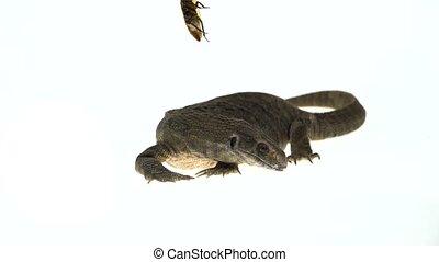 Savannah Monitor Lizard hunts for a cockroach (Varanus...