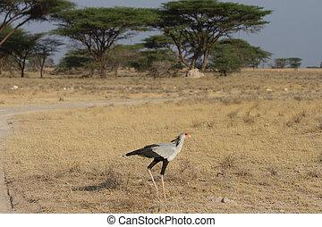 savannah, ptak, sekretarka, wszerz, przechadzki