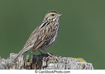 Savannah Sparrow perched on a fence post - Ontario, Canada