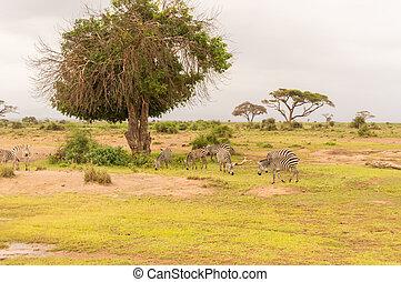 savanne, amboseli, park, zebra, grazen