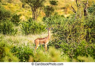 savanne, antilope, giraffe, park, samburu