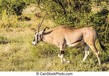 savanne, antilope, samburu, jonge, vrouwlijk
